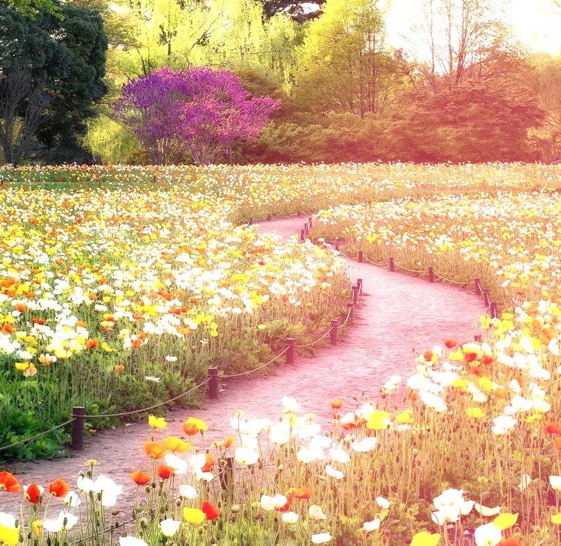 Poppy fields in Showa Kinen Park in Tokyo, Japan