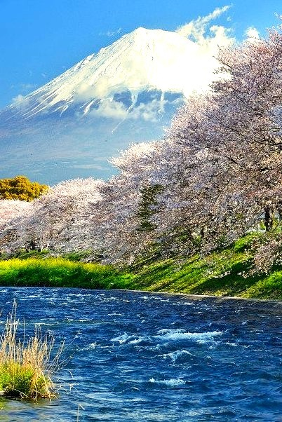 Cherry blossom by the river with Mount Fuji in the background / Japan